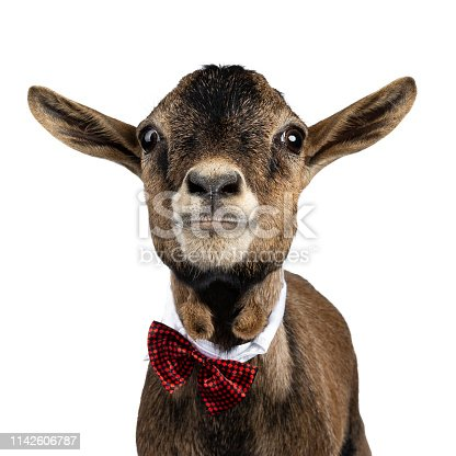 Head shot of funny brown pygmy goat wearing a white collar and red / black checkered bow tie. Looking straight at camera. Isolated on white background.