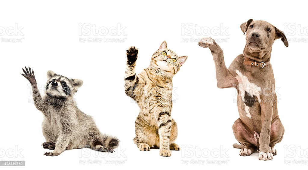 Funny raccoon, cat and puppy sitting together stock photo