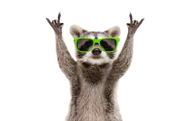 Funny raccoon in green sunglasses showing a rock gesture isolated on white background Funny raccoon in green sunglasses showing a rock gesture isolated on white background amusing stock pictures, royalty-free photos & images