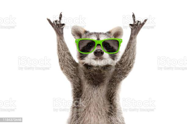 Photo of Funny raccoon in green sunglasses showing a rock gesture isolated on white background