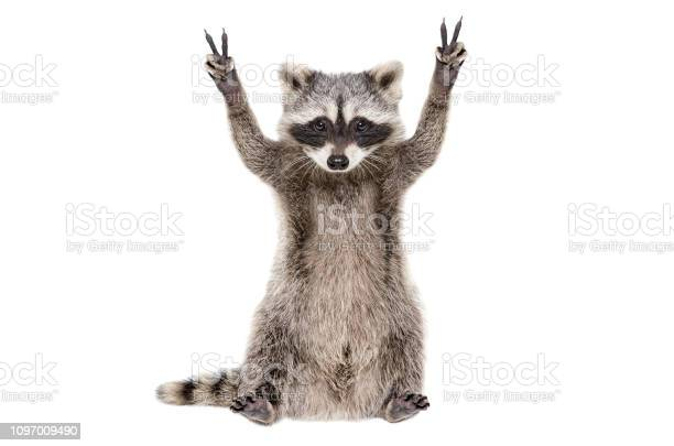 Funny raccoon showing a sign peace isolated on white background picture id1097009490?b=1&k=6&m=1097009490&s=612x612&h=l9zkv6xidyozxjjbdms9akf6pgxfj qc6zwoztyy5z8=