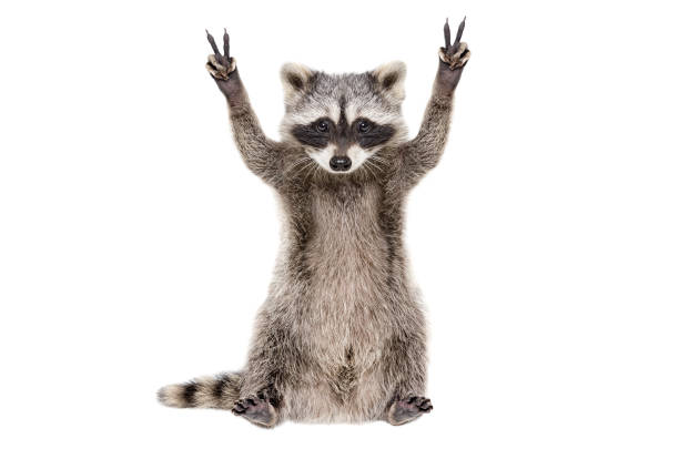 funny raccoon, showing a sign peace, isolated on white background - soggetti con animali foto e immagini stock