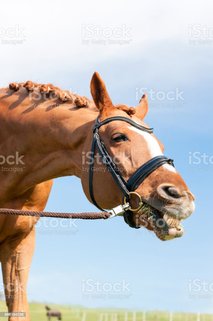 Funny Red Horse With Braided Mane Showing Her Teeth Stock Photo Download Image Now Istock