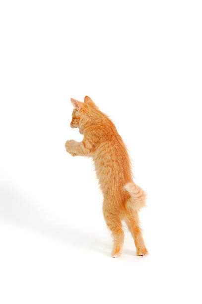 Funny red kitten catching and jumping picture id176837627?b=1&k=6&m=176837627&s=612x612&w=0&h=9co8atjxbvywu1scodvdrvw4 zkt ozdqzk2cgocpzi=