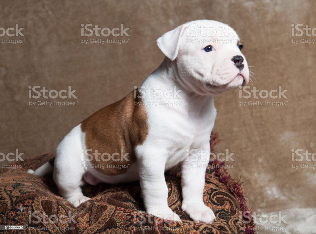 Lustige Rote Weisse Farbe American Bulldog Welpen Auf Hellem Hintergrund Stockfoto Und Mehr Bilder Von Bulldogge Istock