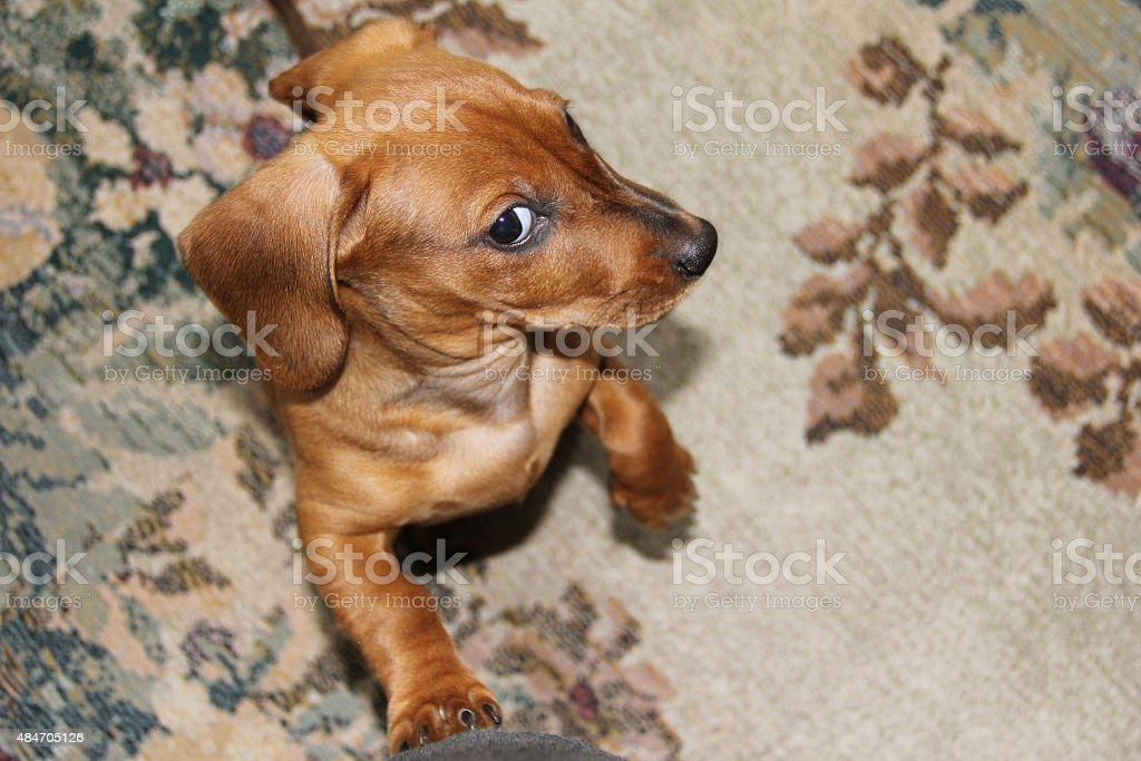 Funny Redhaired Dachshund Puppy Stock Photo Download Image Now Istock