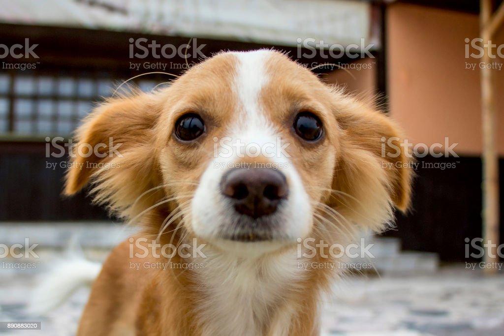 Funny petit chien roux - Photo