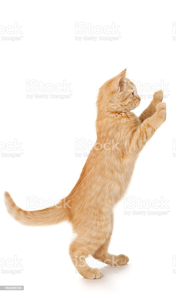 Funny redhead cat standing royalty-free stock photo