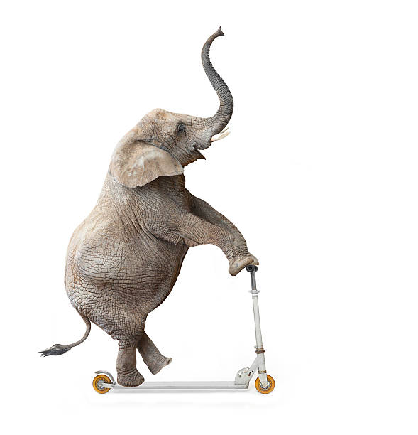 Funny rider. African elephant (Loxodonta africana) riding a push scooter. snout stock pictures, royalty-free photos & images