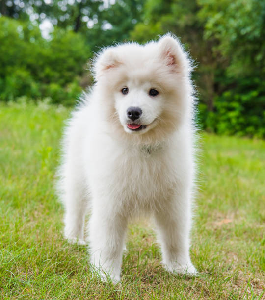 Funny Samoyed puppy dog in the garden on the green grass stock photo