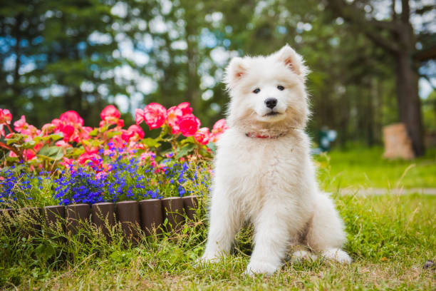 Funny Samoyed puppy dog in the garden on the green grass with flowers stock photo