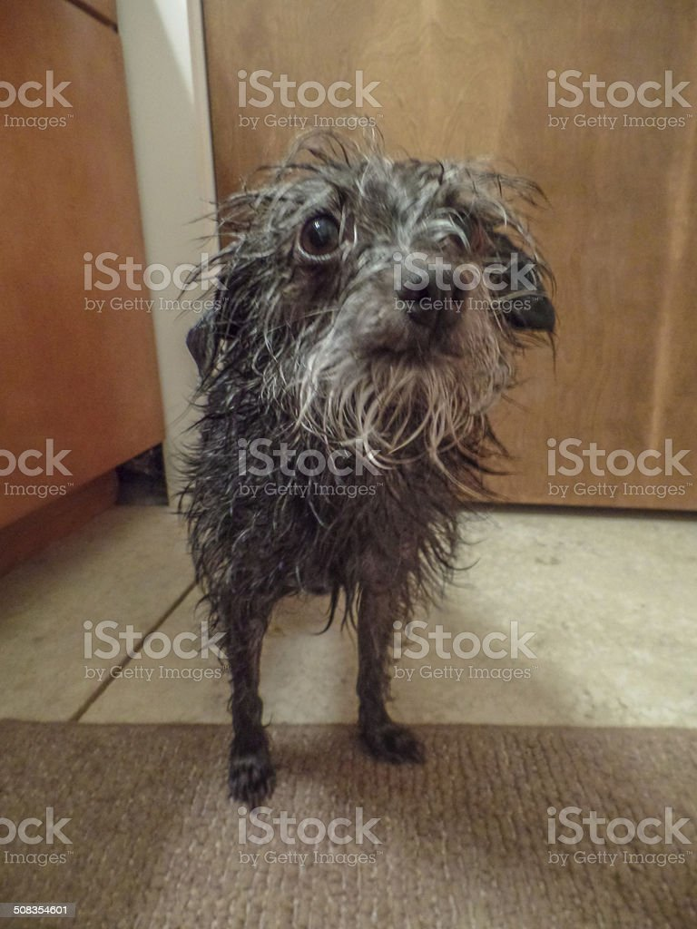 Funny Scruffy Dog royalty-free stock photo