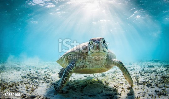 A funny cute sea turtle looking right at the camera with sun rays behind him.