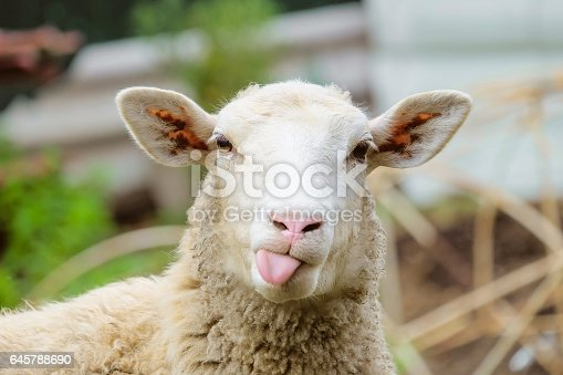 istock Funny sheep. Portrait of sheep showing tongue. 645788690
