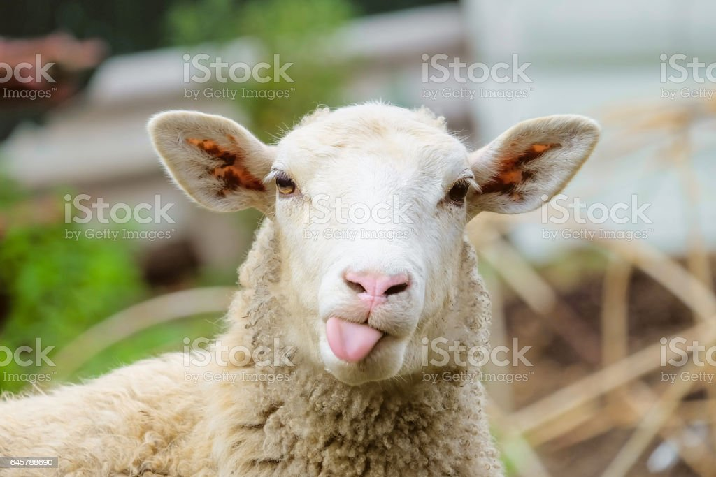 Image result for royalty free images lamb