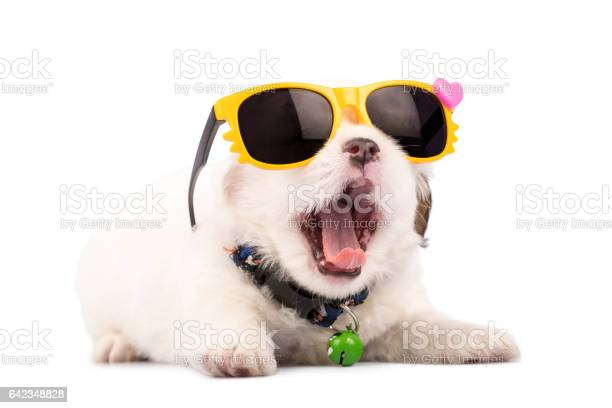 Funny shih tzu puppy with sunglasses isolated on white background picture id642348828?b=1&k=6&m=642348828&s=612x612&h=lgrttevjxqpvwejqx95pd3prjb6qyqwdoqg3x3 6wqe=