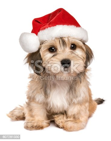 istock Funny sitting Christmas Havanese puppy dog 607281330