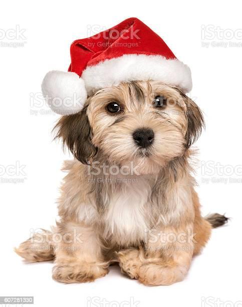 Funny sitting christmas havanese puppy dog picture id607281330?b=1&k=6&m=607281330&s=612x612&h=ewupez3bty2rj4utqgzkzjukypwixzpyy1uw7covcwq=