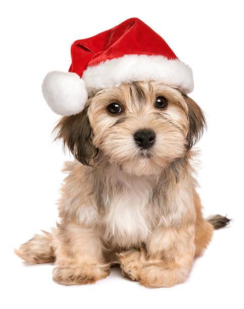 Funny sitting christmas havanese puppy dog picture id607281330?b=1&k=6&m=607281330&s=612x612&w=0&h=3v3gskuyemz3hgk2q9fcqx3lwtjwwwlsa 7xbw0jyz8=