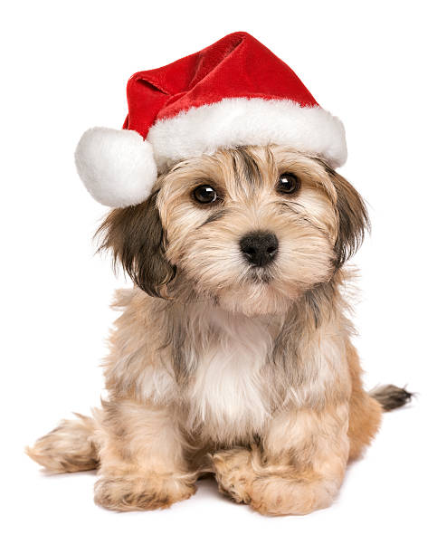 Funny sitting Christmas Havanese puppy dog Funny sitting Bichon Havanese puppy dog in a Christmas hat looking at camera - Isolated on a white background santa hat stock pictures, royalty-free photos & images