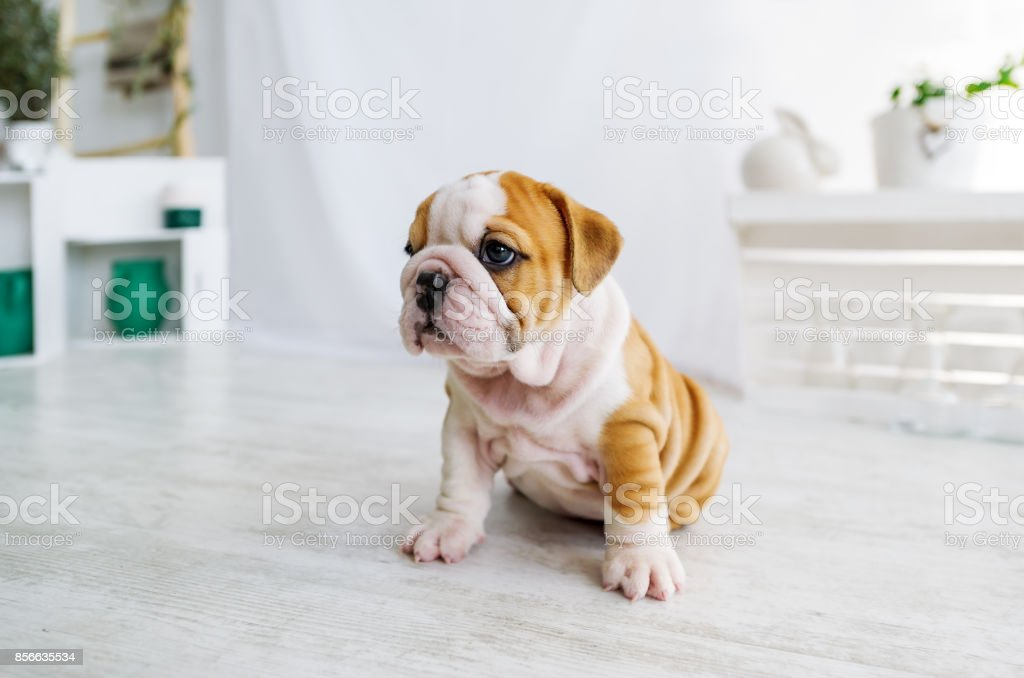 Funny sleeping puppy of english bull dog  on the floor looking to camera. stock photo