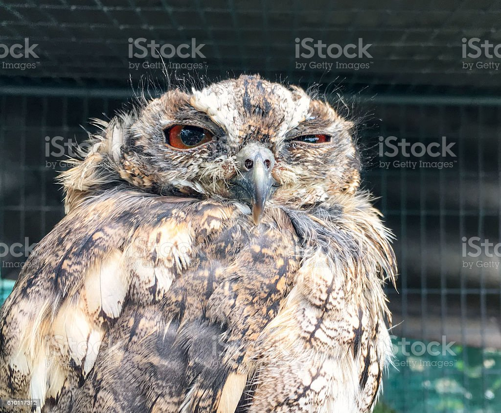 Funny sleepy owl with one eye open stock photo