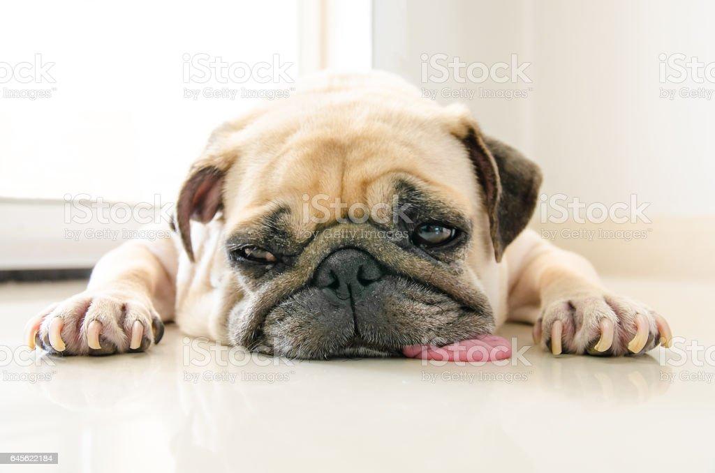 Lustige Sleepy Mops Hund Mit Kaugummi Im Auge Schlaf Ruhen Auf Boden ...