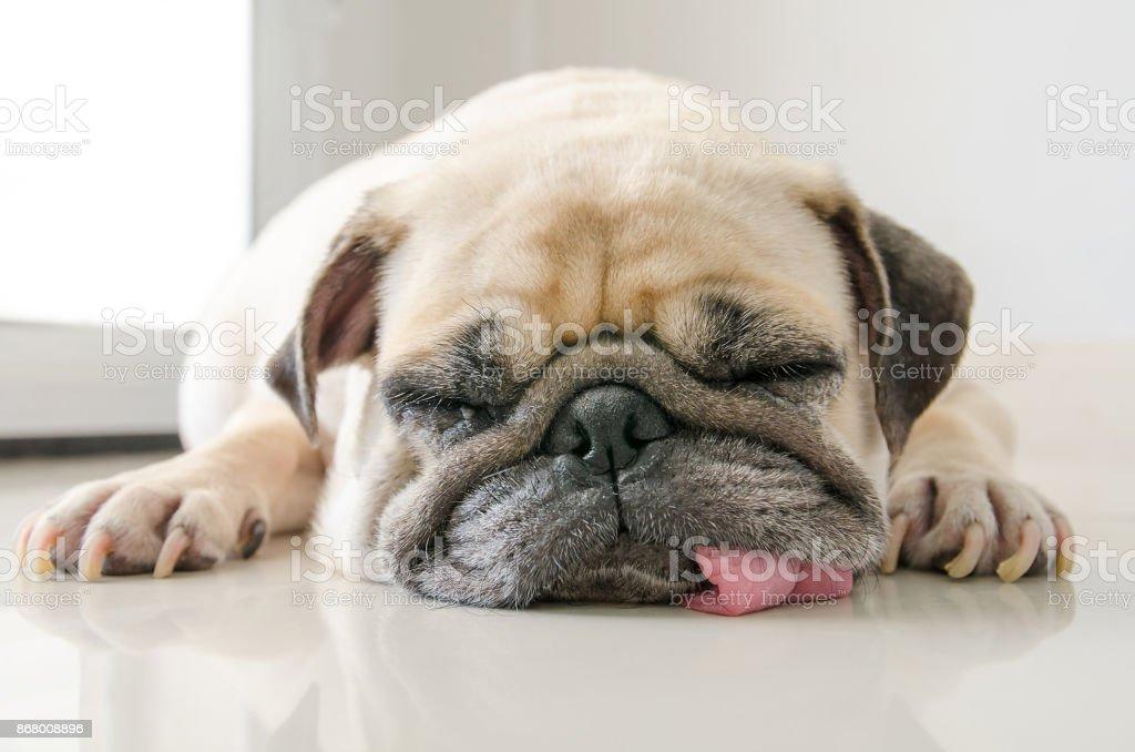 Grappige Sleepy Pug Dog met GOM in de slaap van het oog rusten op de vloer - Royalty-free Bedelen - Dierlijk gedrag Stockfoto