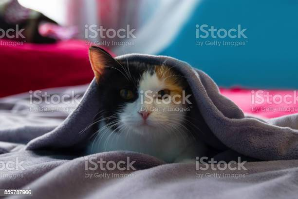 Funny sleepy tortoiseshell cat is resting under the purple blanket on picture id859787966?b=1&k=6&m=859787966&s=612x612&h= fkv8 fagyjs69prxd8jjsk9rgwfaxxkejp4u5 rbyg=