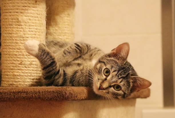 Lustige kleine Katze liegt auf einem Kratzpfosten – Foto
