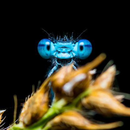 Macro Photo of Funny Smiling Blue Dragonfly Insect on Dark Background