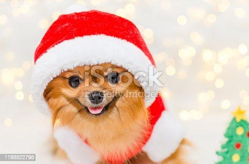 funny smiling pomeranian in santa costume on christmas bokeh background, selective focus