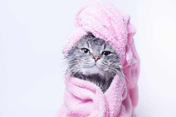 Funny smiling wet gray tabby cute kitten after bath wrapped in pink picture id1185438519?b=1&k=6&m=1185438519&s=612x612&w=0&h=q4votjztkniftcrgplo2c8lddetq19ub2pqtkc95bnw=