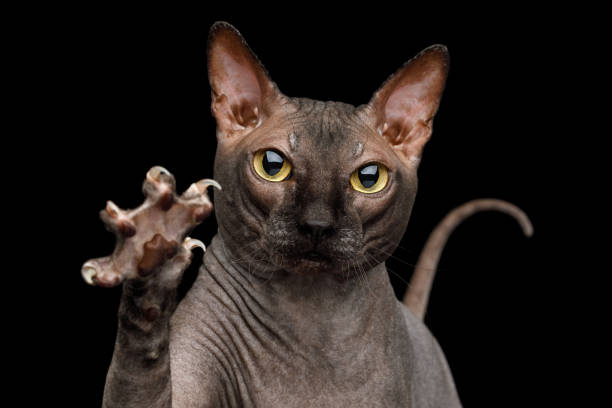 Funny Sphynx Cat on isolated black background Portrait of Playful Sphynx Cat, Gazing and raising paw with claws Isolated on Black Background, front view claw stock pictures, royalty-free photos & images