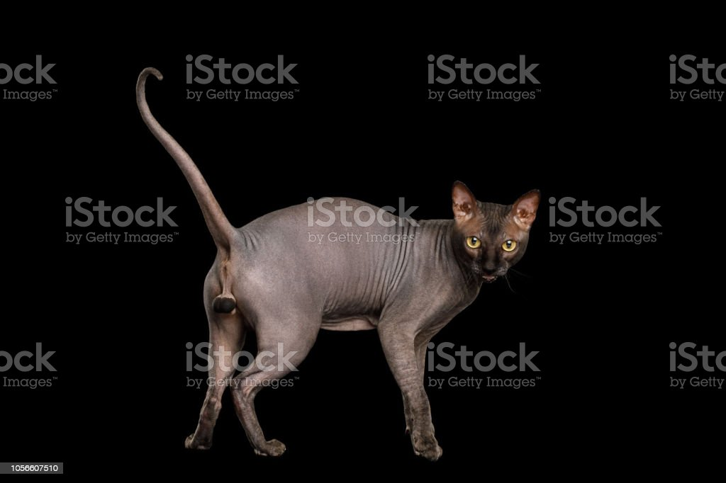 Funny Sphynx Cat on isolated black background stock photo