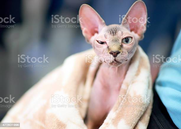 Funny sphynx cat squints one eye picture id472831996?b=1&k=6&m=472831996&s=612x612&h=gbte 5x g0lgczr7k07q9ruz2ek2dppi8f2rj2exh m=