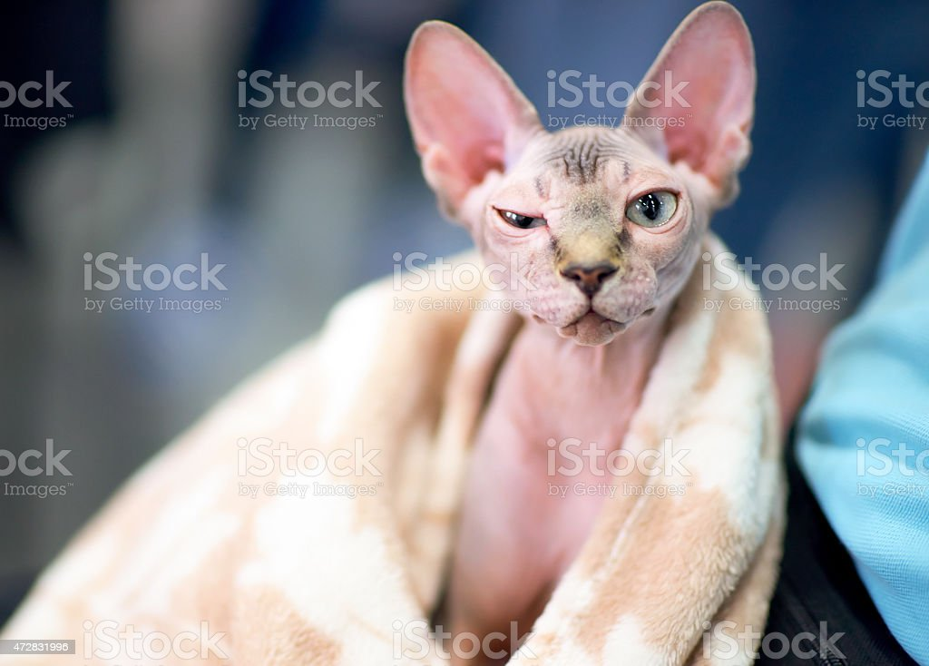 funny sphynx cat squints one eye stock photo