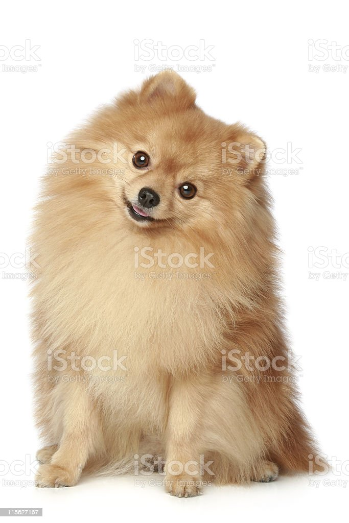Funny Spitz dog sits on a white background stock photo