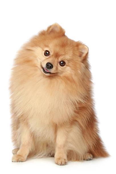 lustiger spitz hund liegt auf einem weißen hintergrund. - zwergspitz stock-fotos und bilder