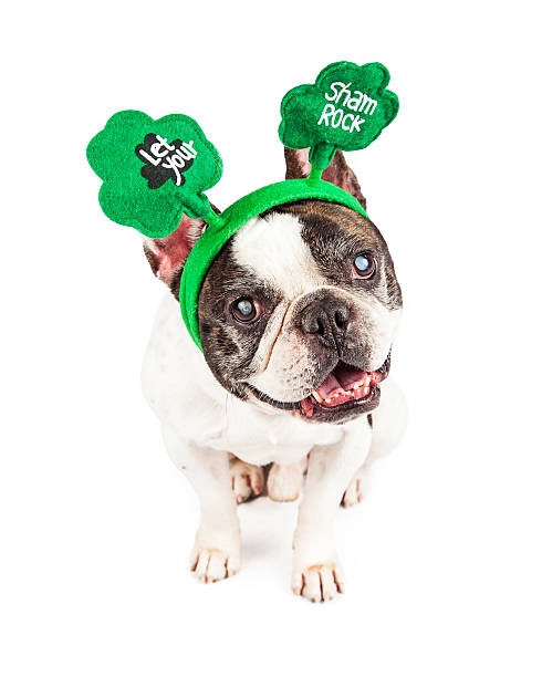 Funny st patricks day french bulldog picture id509167172?b=1&k=6&m=509167172&s=612x612&w=0&h=0j9ldrjhku9a0h rl702yqfokkbb0xxyb ulyik8zu8=
