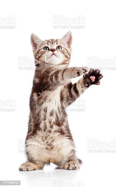 Funny standing playful kitten on white background picture id177329707?b=1&k=6&m=177329707&s=612x612&h=gdy3jxiru0mtjqmzmpkdzmwrverkutenlyaucb e a0=