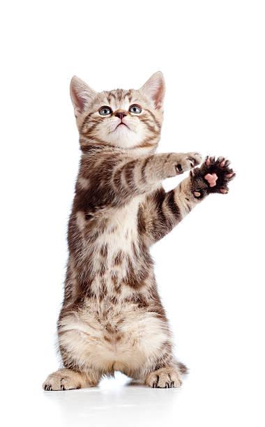 Funny standing playful kitten on white background picture id177329707?b=1&k=6&m=177329707&s=612x612&w=0&h=ekzg vochltrkvvoupp0aqxczqvvips u 4u0htrh3o=