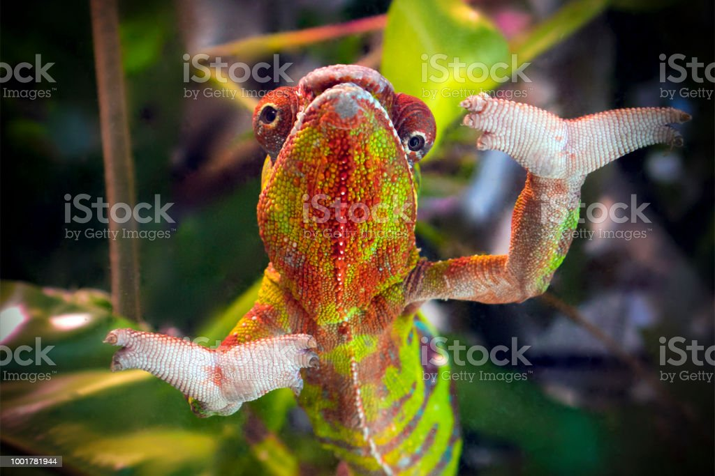 Funny striped and spotted chameleon of red and green coloring - Стоковые фото Без людей роялти-фри