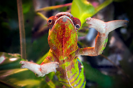 Funny Striped And Spotted Chameleon Of Red And Green Coloring — стоковые фотографии и другие картинки Без людей