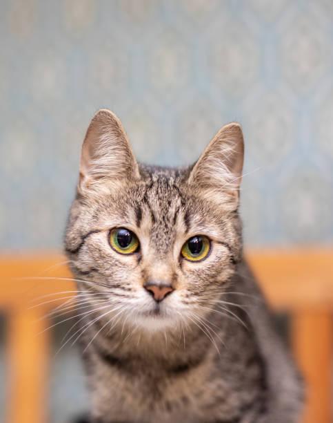 Funny striped cat at home picture id1094049912?b=1&k=6&m=1094049912&s=612x612&w=0&h=cairddocbge9j1fkzj29nevp kbxklv69zxaaolgtai=