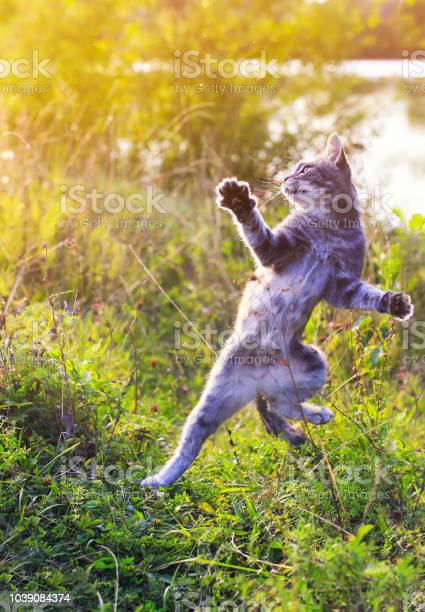 Funny striped cat jumping on a green meadow with his paws high and picture id1039084374?b=1&k=6&m=1039084374&s=612x612&h=ndzmqww1kjosngwobsiy760sym7pivneovdrq1wttri=