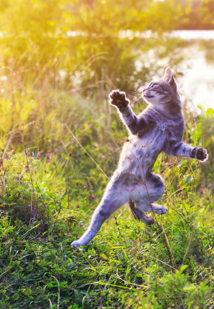 Funny striped cat jumping on a green meadow with his paws high and picture id1039084374?b=1&k=6&m=1039084374&s=612x612&w=0&h=e  7b8bkt6hjaw qy39zfjkxlky8qmms0f3xk5p u48=