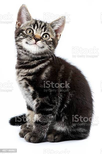 Funny striped kitten sitting and smiling picture id492186862?b=1&k=6&m=492186862&s=612x612&h=ilzrryh2cfcbr nwztvcevgypumzeffoxbzwlbvsnf4=