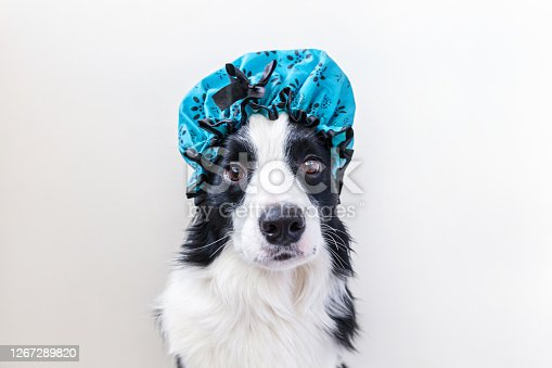 Funny studio portrait of cute puppy dog border collie wearing shower cap isolated on white background. Cute little dog ready for wash in bathroom. Spa treatments in grooming salon