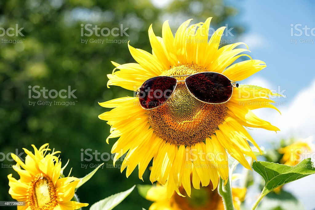 Funny sunflower with sunglasses stock photo